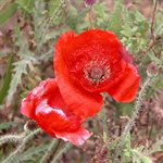 SEEDS POPPY PACKAGE